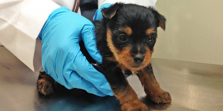 ASPCA Cares for Yorkie Puppies