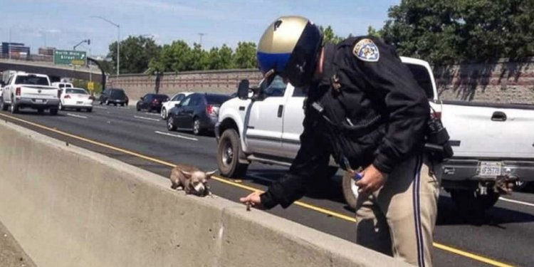 Chihuahua Rescue on Highway