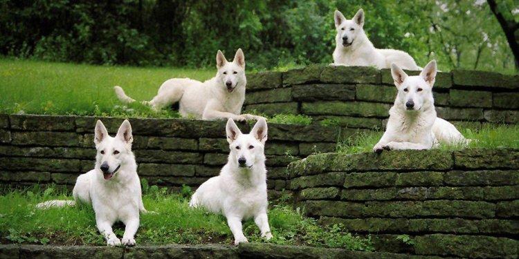 Echo Dogs White Shepherd