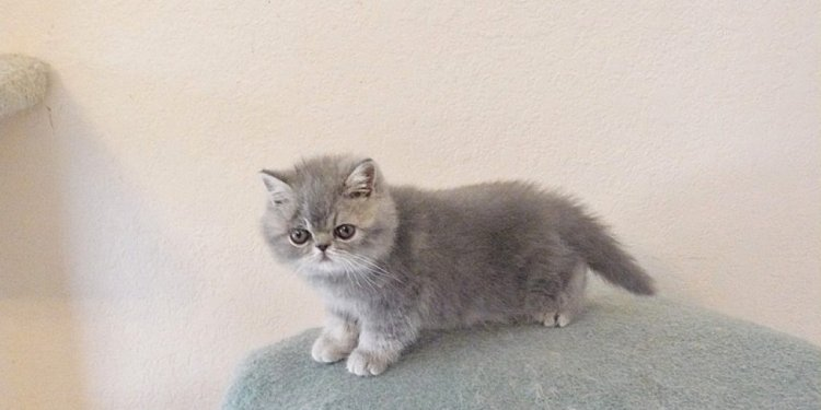Exotic Shorthair Kittens For