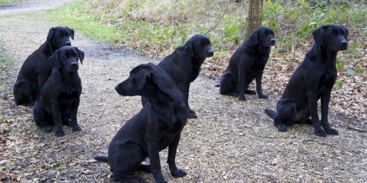 Labrador-training