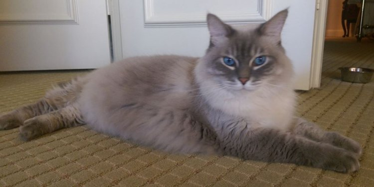 Ragdoll Mix Cat For Adoption