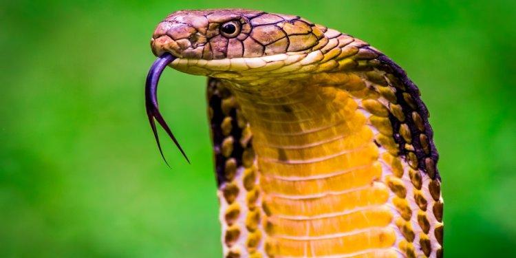 King cobra orlando