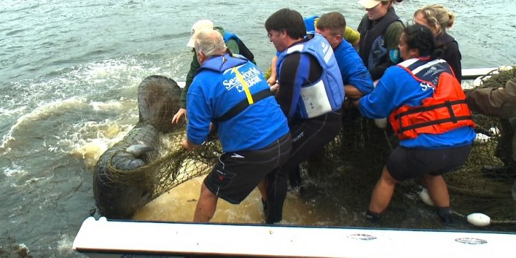 Manatee rescued Friday near
