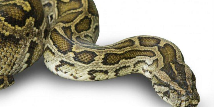 Nine-Foot Florida Anaconda