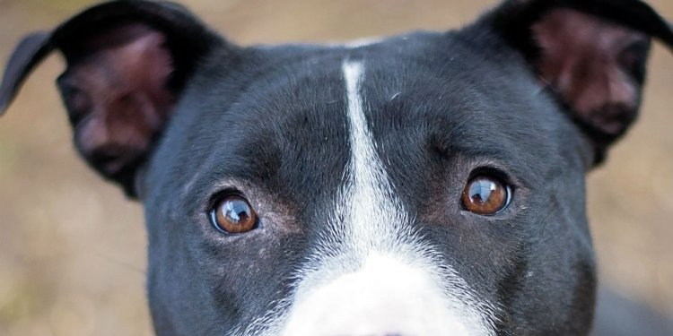 Pit Bull Saved From Abuse When