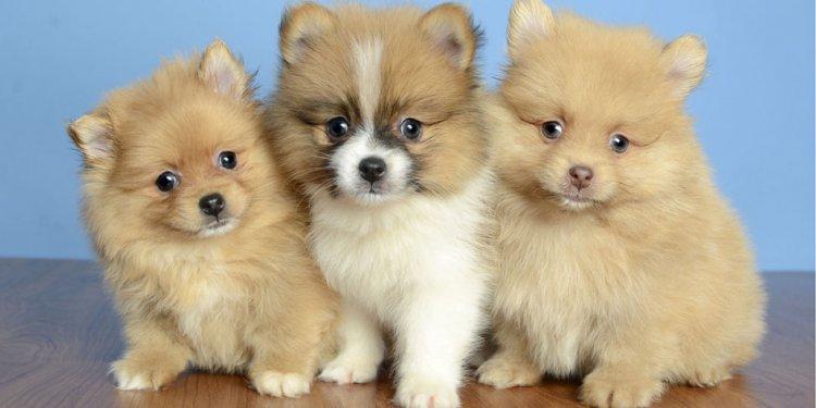 Puppies for Sale - Orlando FL