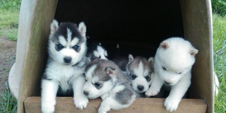Siberian Husky For Sale in