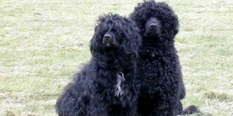 Winsome Portuguese Water Dog