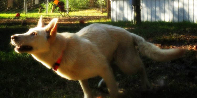 German Shepherd Rescue Jacksonville FL