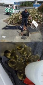 Duckling rescue by PHS/SPCA animal control officers