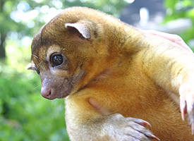 Kinkajou is an exotic pet from South America