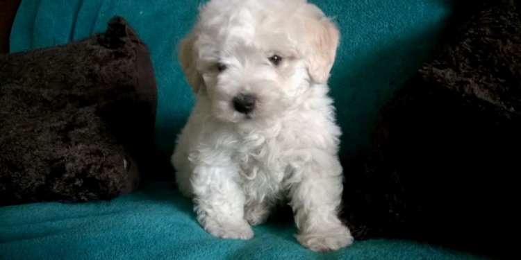 Bichon Puppies Rescue